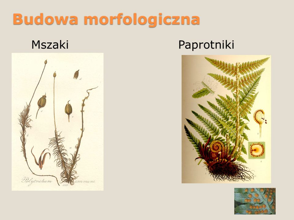 Budowa morfologiczna MszakiPaprotniki