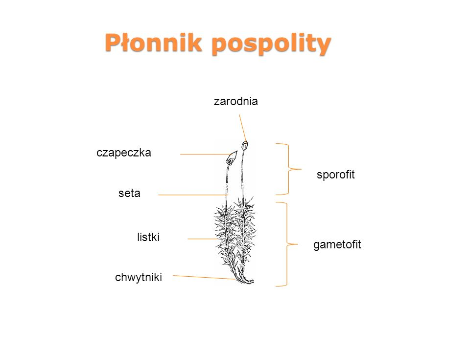 Płonnik pospolity gametofit sporofit seta chwytniki zarodnia czapeczka listki