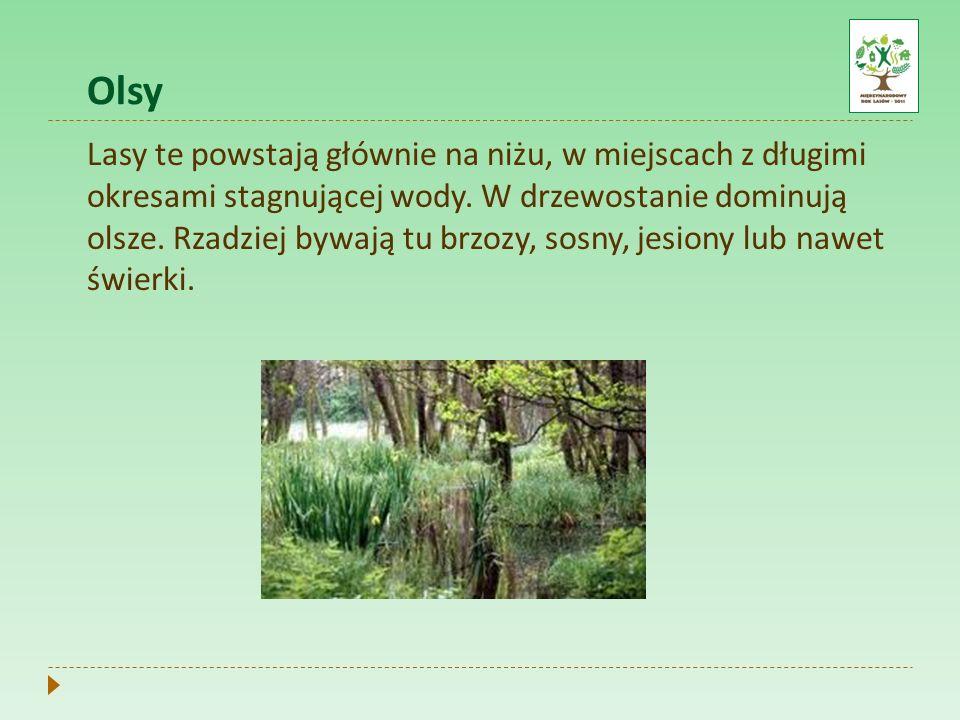 Olsy Lasy te powstają głównie na niżu, w miejscach z długimi okresami stagnującej wody. W drzewostanie dominują olsze. Rzadziej bywają tu brzozy, sosn