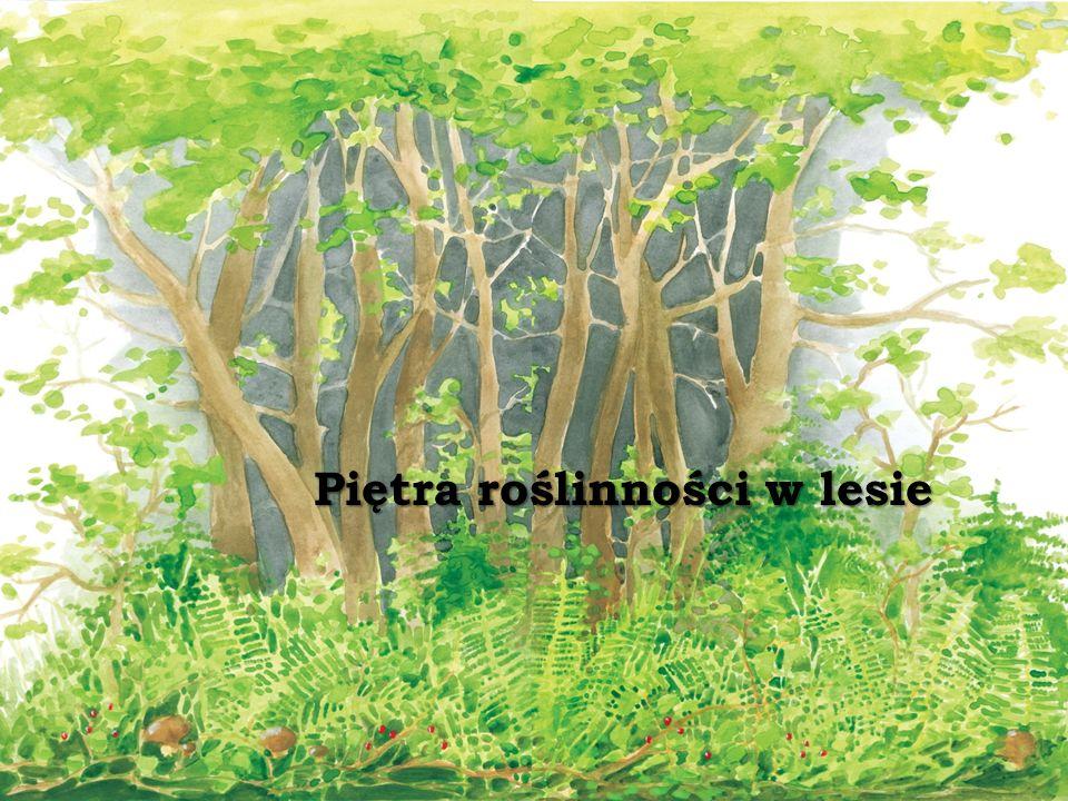 Piętra roślinności w lesie