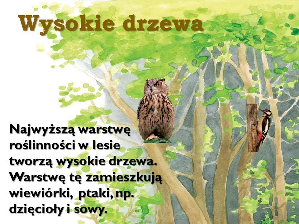 Wysokie drzewa Najwyższą warstwę roślinności w lesie tworzą wysokie drzewa. Warstwę tę zamieszkują wiewiórki, ptaki, np. dzięcioły i sowy.