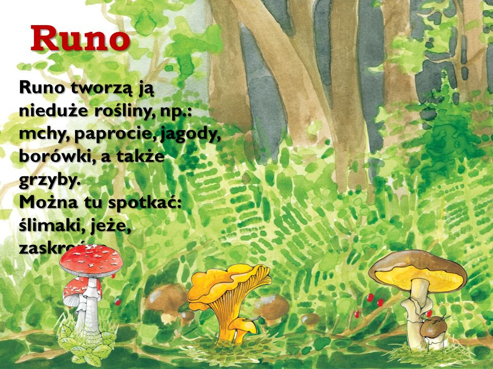 Runo Runo tworzą ją nieduże rośliny, np.: mchy, paprocie, jagody, borówki, a także grzyby. Można tu spotkać: ślimaki, jeże, zaskrońce.