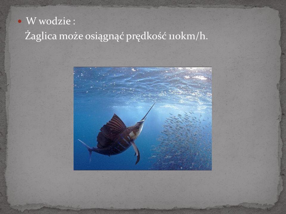 W wodzie : Żaglica może osiągnąć prędkość 110km/h.