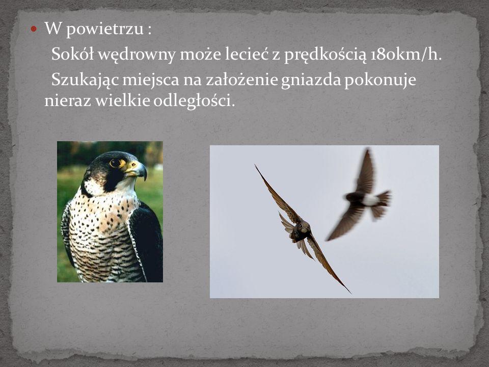 W powietrzu : Sokół wędrowny może lecieć z prędkością 180km/h. Szukając miejsca na założenie gniazda pokonuje nieraz wielkie odległości.