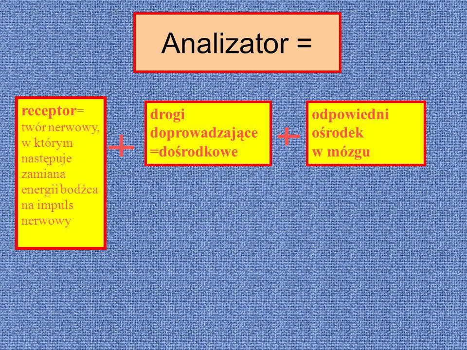 Analizator = receptor = twór nerwowy, w którym następuje zamiana energii bodźca na impuls nerwowy drogi doprowadzające =dośrodkowe odpowiedni ośrodek