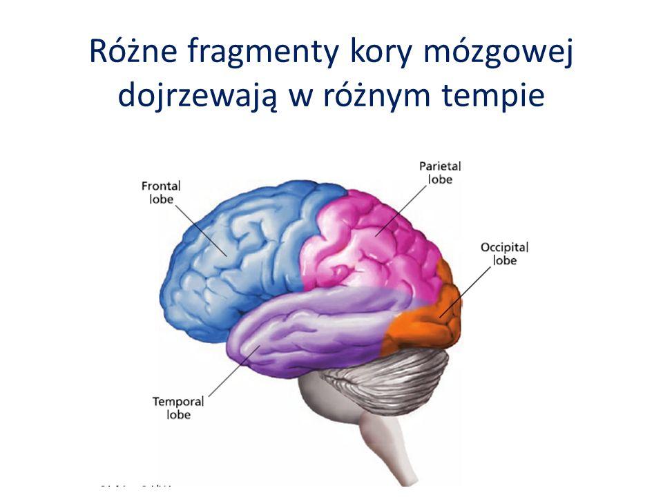 Różne fragmenty kory mózgowej dojrzewają w różnym tempie
