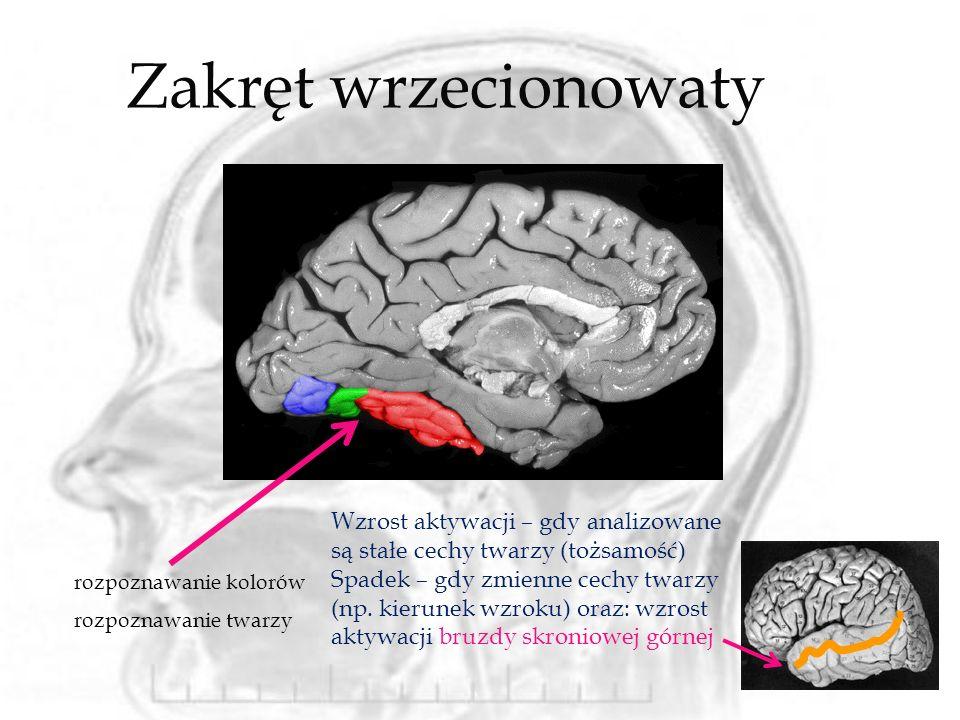 Zakręt wrzecionowaty rozpoznawanie kolorów rozpoznawanie twarzy Wzrost aktywacji – gdy analizowane są stałe cechy twarzy (tożsamość) Spadek – gdy zmie