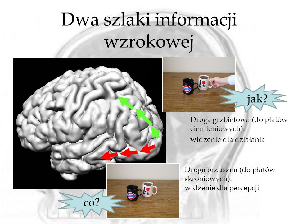 Dwa szlaki informacji wzrokowej Droga grzbietowa (do płatów ciemieniowych): widzenie dla działania Droga brzuszna (do płatów skroniowych): widzenie dla percepcji co.