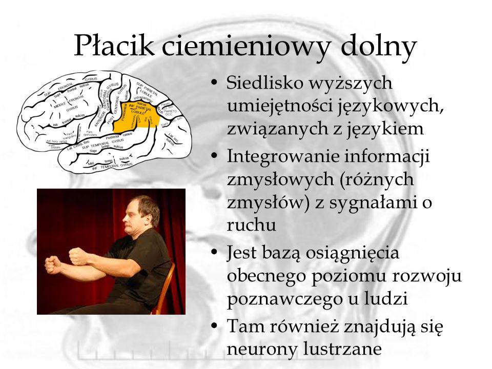 Płacik ciemieniowy dolny Siedlisko wyższych umiejętności językowych, związanych z językiem Integrowanie informacji zmysłowych (różnych zmysłów) z sygn