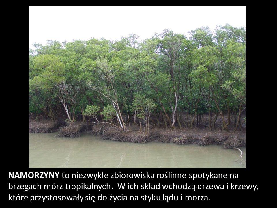 NAMORZYNY to niezwykłe zbiorowiska roślinne spotykane na brzegach mórz tropikalnych. W ich skład wchodzą drzewa i krzewy, które przystosowały się do ż