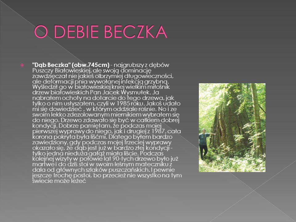 Dąb Beczka (obw.745cm) - najgrubszy z dębów Puszczy Białowieskiej, ale swoją dominację zawdzięczał nie jakieś olbrzymiej długowieczności, ale deformacji pnia wywołanej infekcją grzybną.