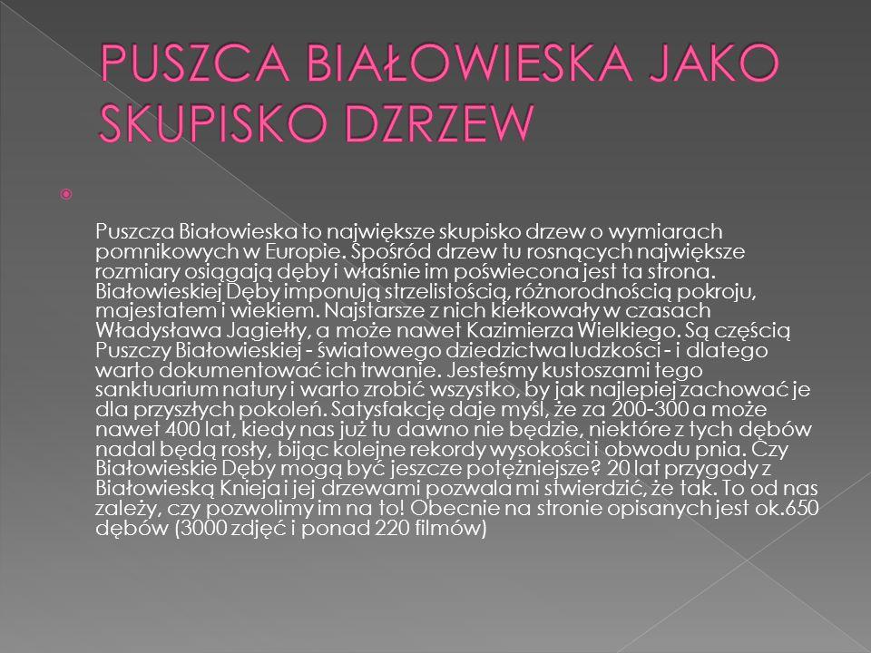 Puszcza Białowieska to największe skupisko drzew o wymiarach pomnikowych w Europie.