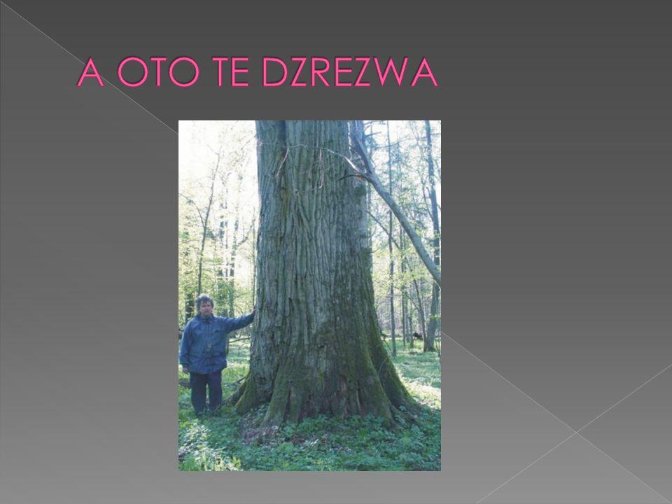 Wyszukaj dęby o obwodzie od do cm PARTNERZY My w Internecie Drzewa BPN Drzewa a człowiek Obwód pnia Wysokość Wiek Pokrój Dęby Dedykowane Wybory Drzewa Sergiusza O dębach inaczej Drzewa w poezji Hymn Puszczy Bonus Galeria Przyjaciele Puszczy Księga gości Linki E-mail WIEK PUSZCZAŃSKICH DĘBÓW PARTNERZYMy w InternecieDrzewa BPNDrzewa a człowiekObwód pniaWysokośćWiekPokrójDęby DedykowaneWyboryDrzewa SergiuszaO dębach inaczejDrzewa w poezjiHymn PuszczyBonusGaleriaPrzyjaciele PuszczyKsięga gościLinkiE-mail Wiek dębów puszczańskich jest trudny do precyzyjnego określenia.