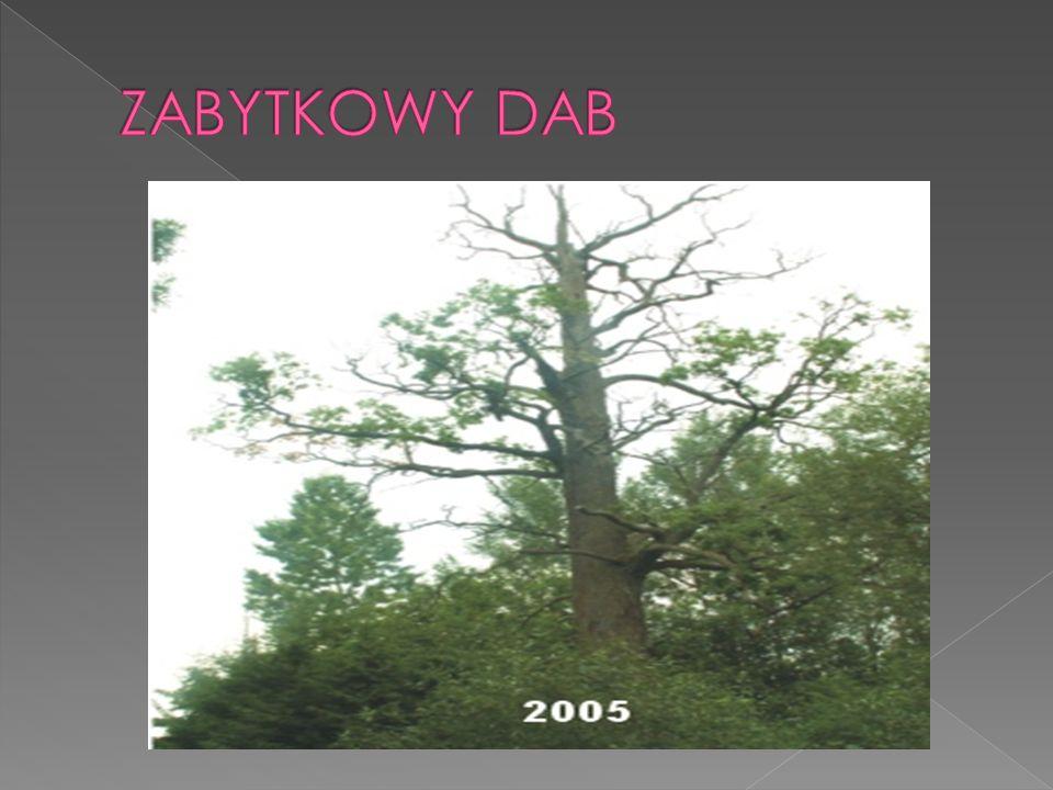 Dąb Jagiełły (wys.39m,obw.550cm) - najsłynniejszy z dębów Puszczy Białowieskiej, ale nie najpotężniejszy i na pewno nie najstarszy.