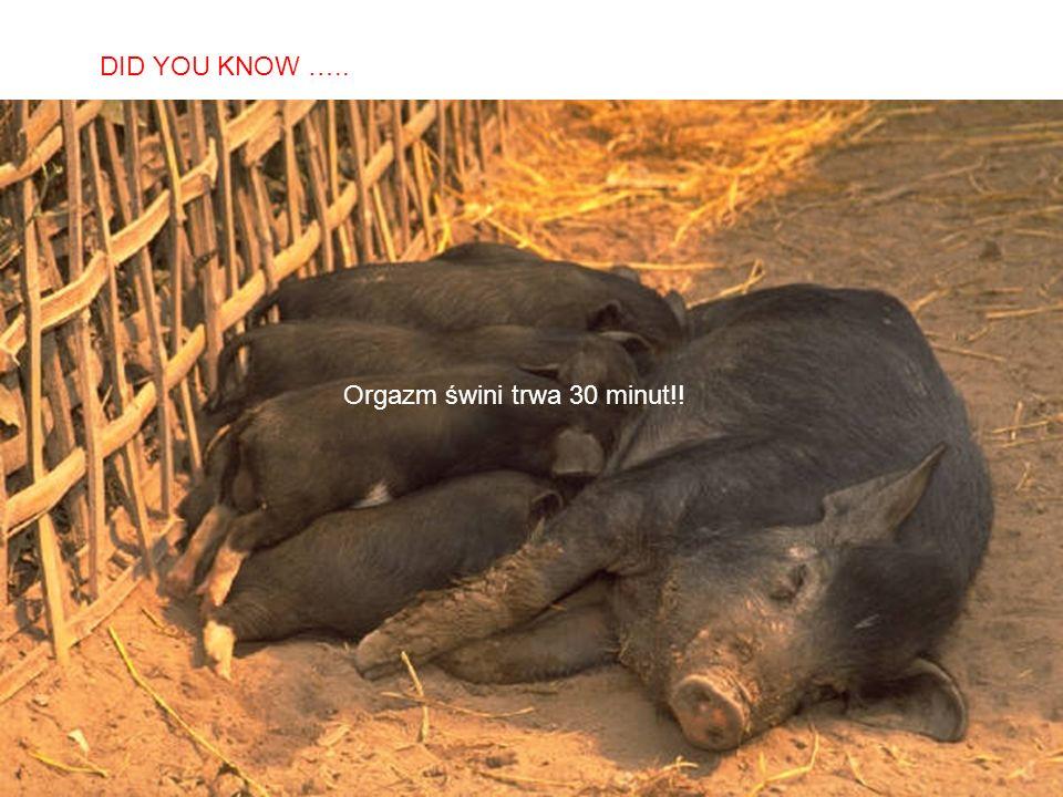 SABIAS QUE… Orgazm świni trwa 30 minut!! DID YOU KNOW …..
