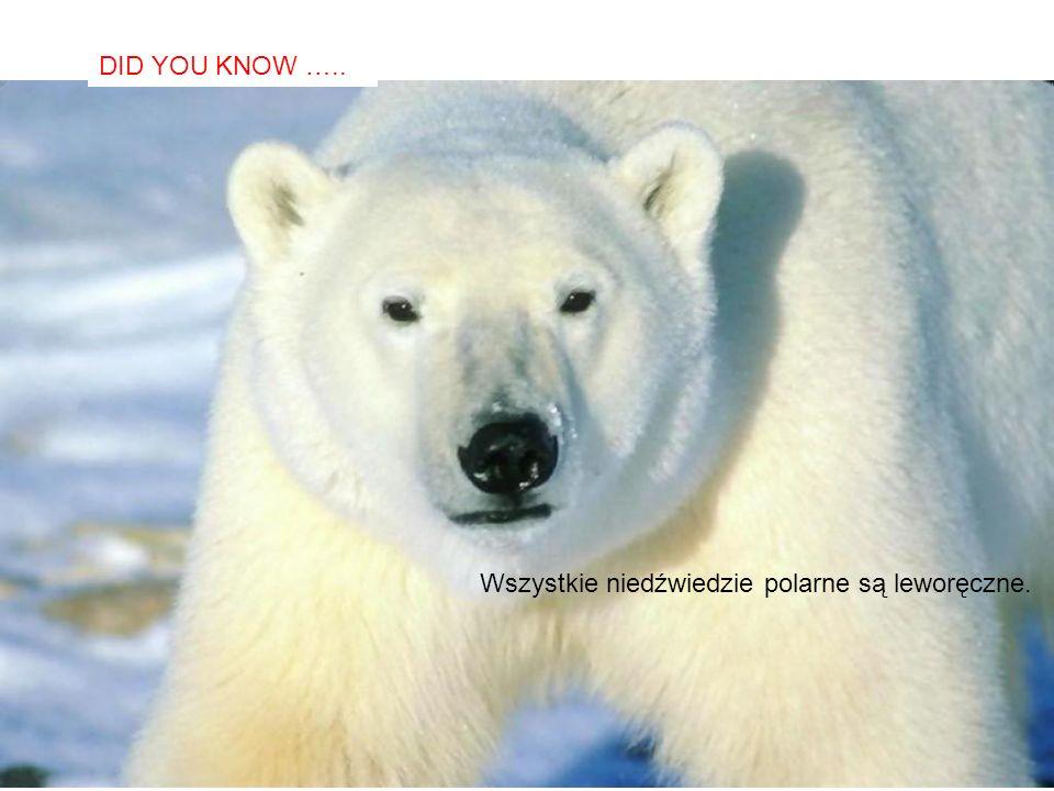 SABIAS QUE… Wszystkie niedźwiedzie polarne są leworęczne. DID YOU KNOW …..