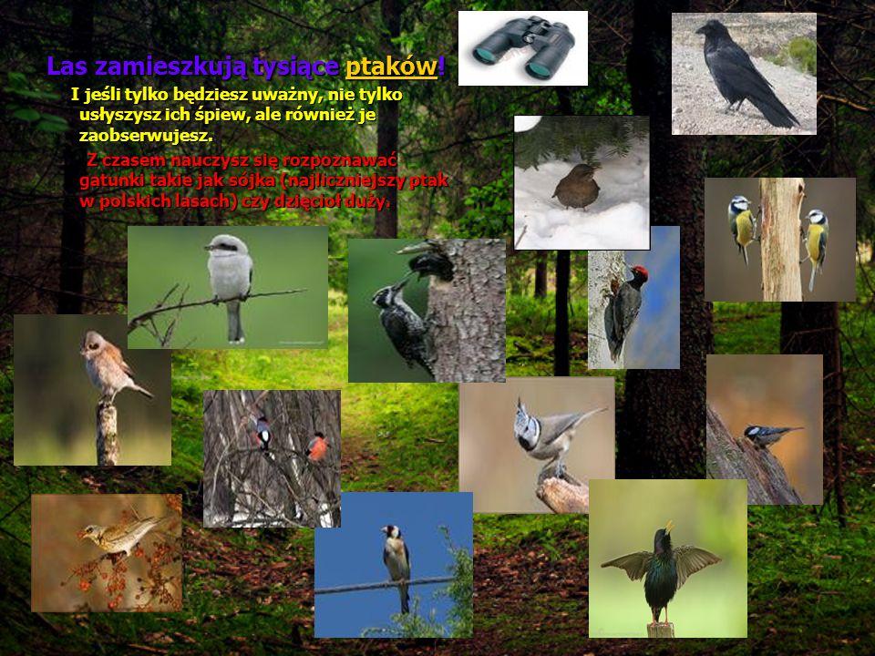 Las zamieszkują tysiące p p p p p tttt aaaa kkkk óóóó wwww! I jeśli tylko będziesz uważny, nie tylko usłyszysz ich śpiew, ale również je zaobserwujesz