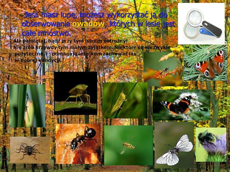 Jeśli masz lupę, możesz wykorzystać ją do obserwowania owadów, których w lesie jest całe mnóstwo. Jeśli masz lupę, możesz wykorzystać ją do obserwowan