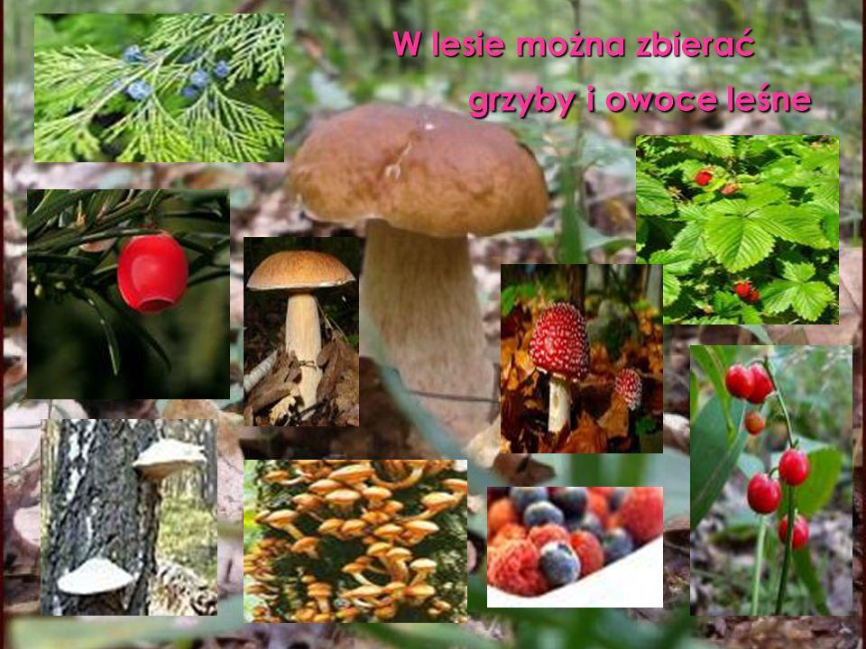 W lesie można zbierać grzyby i owoce leśne W lesie można zbierać grzyby i owoce leśne