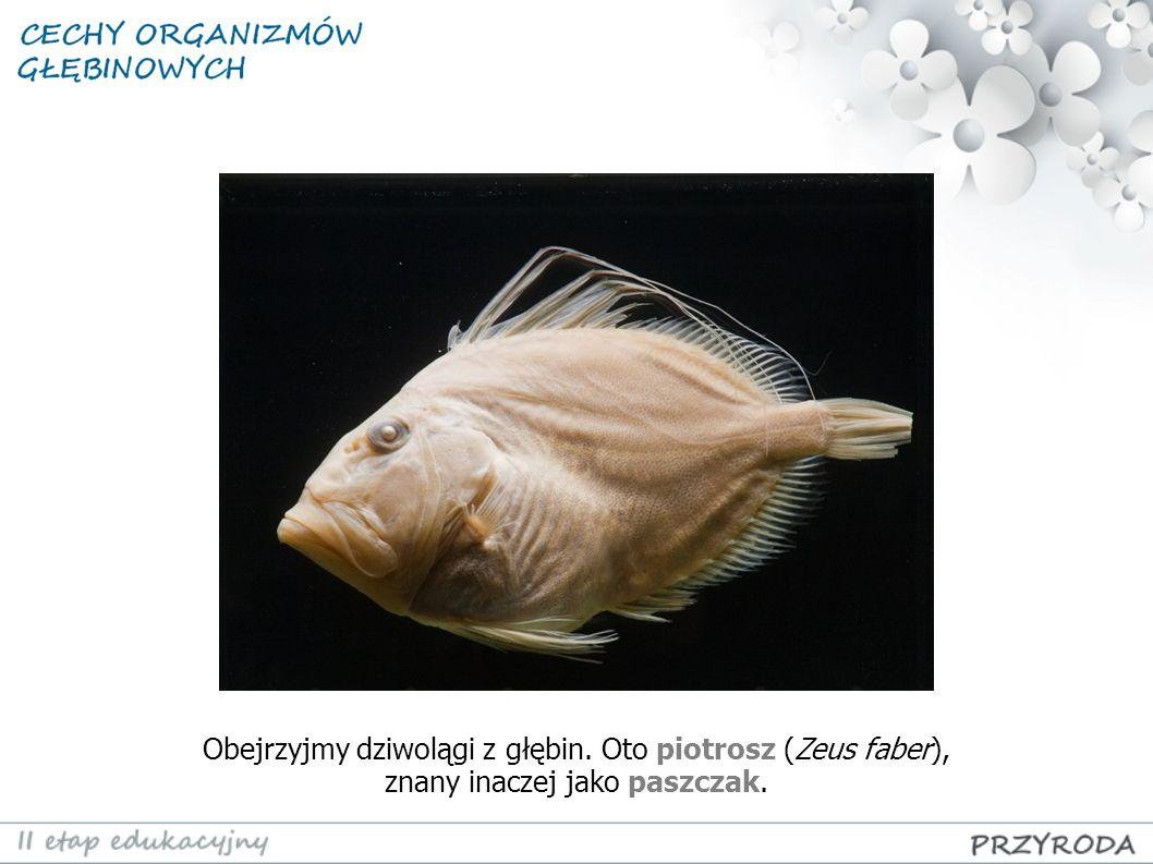 Obejrzyjmy dziwolągi z głębin. Oto piotrosz (Zeus faber), znany inaczej jako paszczak.