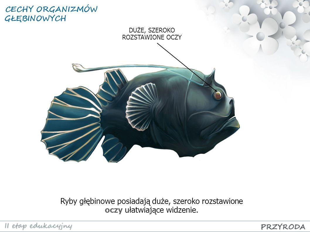 Ryby głębinowe posiadają duże, szeroko rozstawione oczy ułatwiające widzenie. DUŻE, SZEROKO ROZSTAWIONE OCZY