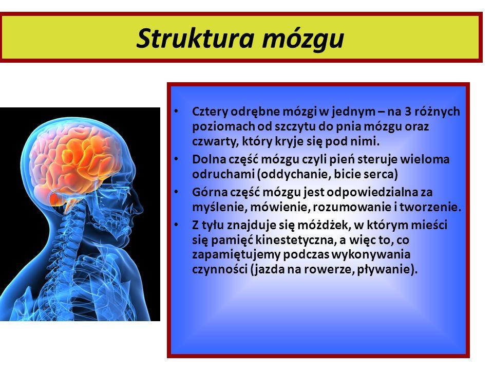 Struktura mózgu Cztery odrębne mózgi w jednym – na 3 różnych poziomach od szczytu do pnia mózgu oraz czwarty, który kryje się pod nimi. Dolna część mó