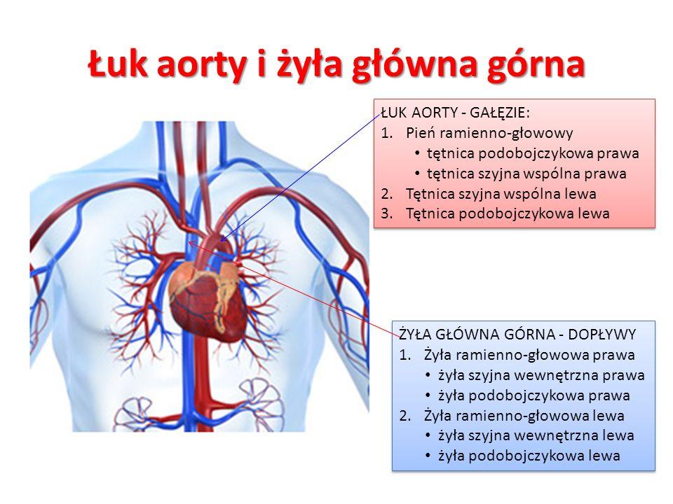 Łuk aorty i żyła główna górna ŁUK AORTY - GAŁĘZIE: 1.Pień ramienno-głowowy tętnica podobojczykowa prawa tętnica szyjna wspólna prawa 2.Tętnica szyjna