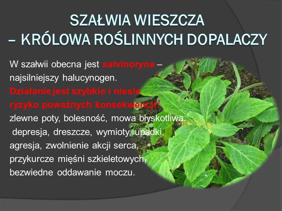 W szałwii obecna jest salvinoryna – najsilniejszy halucynogen. Działanie jest szybkie i niesie ryzyko poważnych konsekwencji: zlewne poty, bolesność,