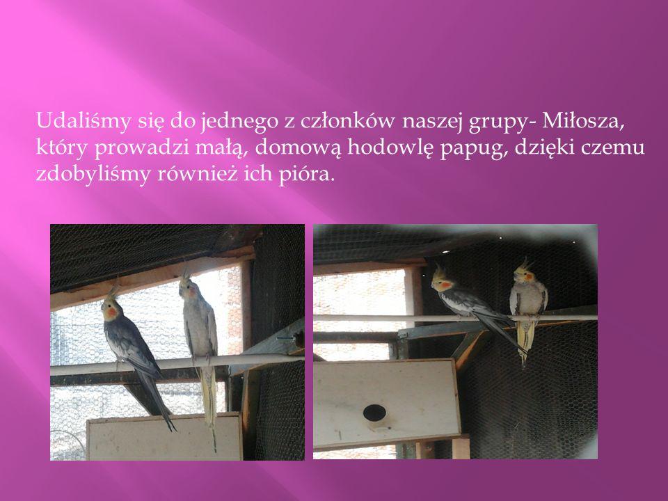 Udaliśmy się do jednego z członków naszej grupy- Miłosza, który prowadzi małą, domową hodowlę papug, dzięki czemu zdobyliśmy również ich pióra.