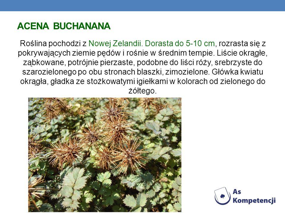 ACENA BUCHANANA Roślina pochodzi z Nowej Zelandii. Dorasta do 5-10 cm, rozrasta się z pokrywających ziemie pędów i rośnie w średnim tempie. Liście okr