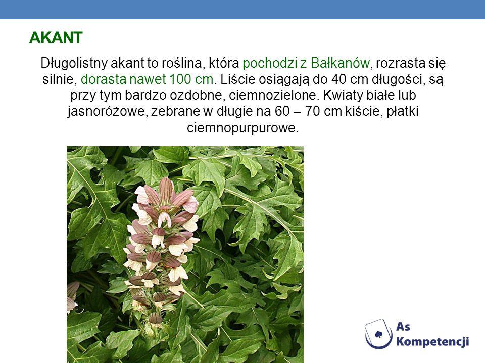 AKANT Długolistny akant to roślina, która pochodzi z Bałkanów, rozrasta się silnie, dorasta nawet 100 cm. Liście osiągają do 40 cm długości, są przy t