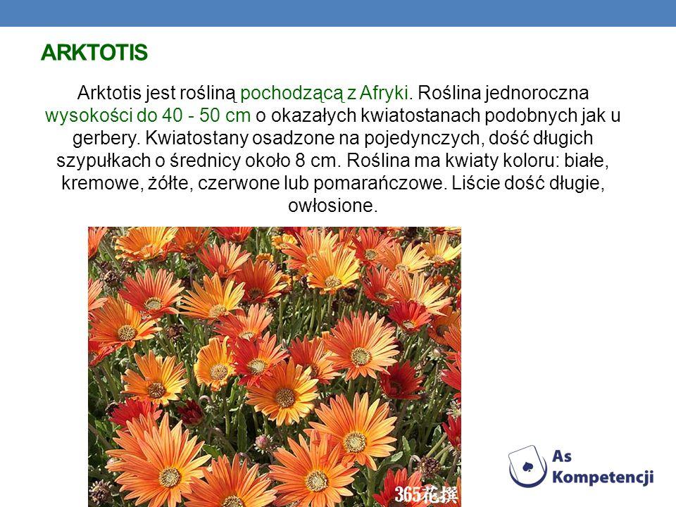 ARKTOTIS Arktotis jest rośliną pochodzącą z Afryki. Roślina jednoroczna wysokości do 40 - 50 cm o okazałych kwiatostanach podobnych jak u gerbery. Kwi