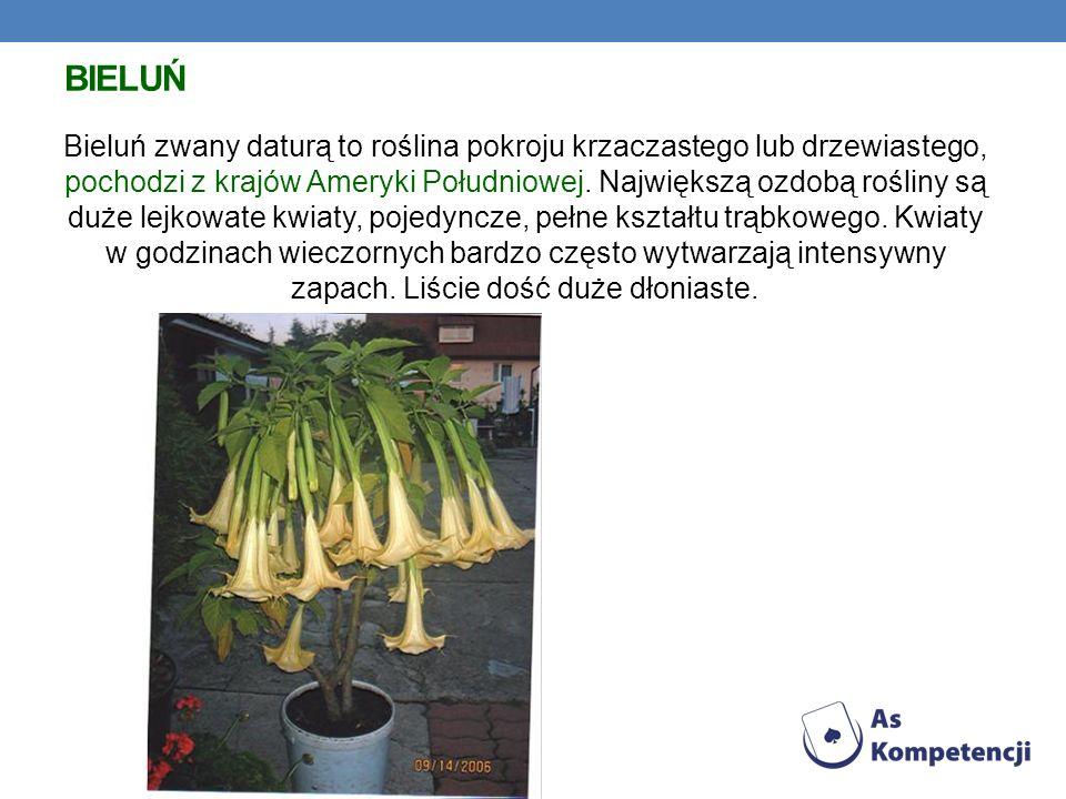 BIELUŃ Bieluń zwany daturą to roślina pokroju krzaczastego lub drzewiastego, pochodzi z krajów Ameryki Południowej. Największą ozdobą rośliny są duże