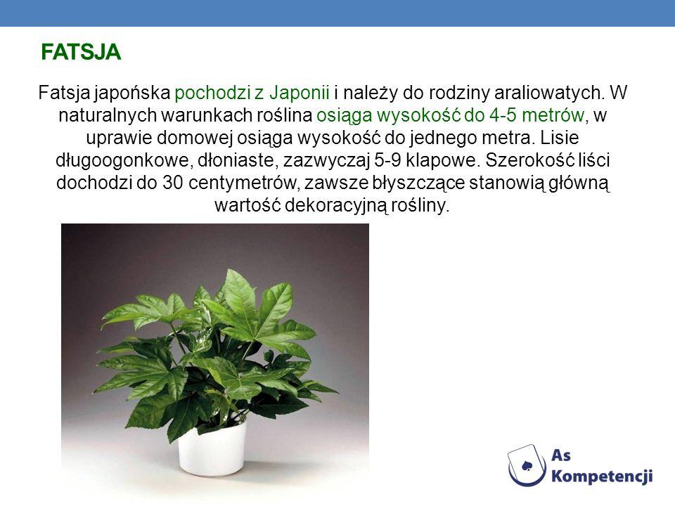 FATSJA Fatsja japońska pochodzi z Japonii i należy do rodziny araliowatych. W naturalnych warunkach roślina osiąga wysokość do 4-5 metrów, w uprawie d