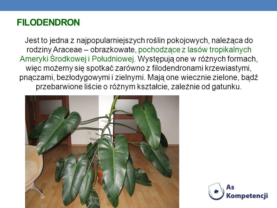 FILODENDRON Jest to jedna z najpopularniejszych roślin pokojowych, należąca do rodziny Araceae – obrazkowate, pochodzące z lasów tropikalnych Ameryki Środkowej i Południowej.