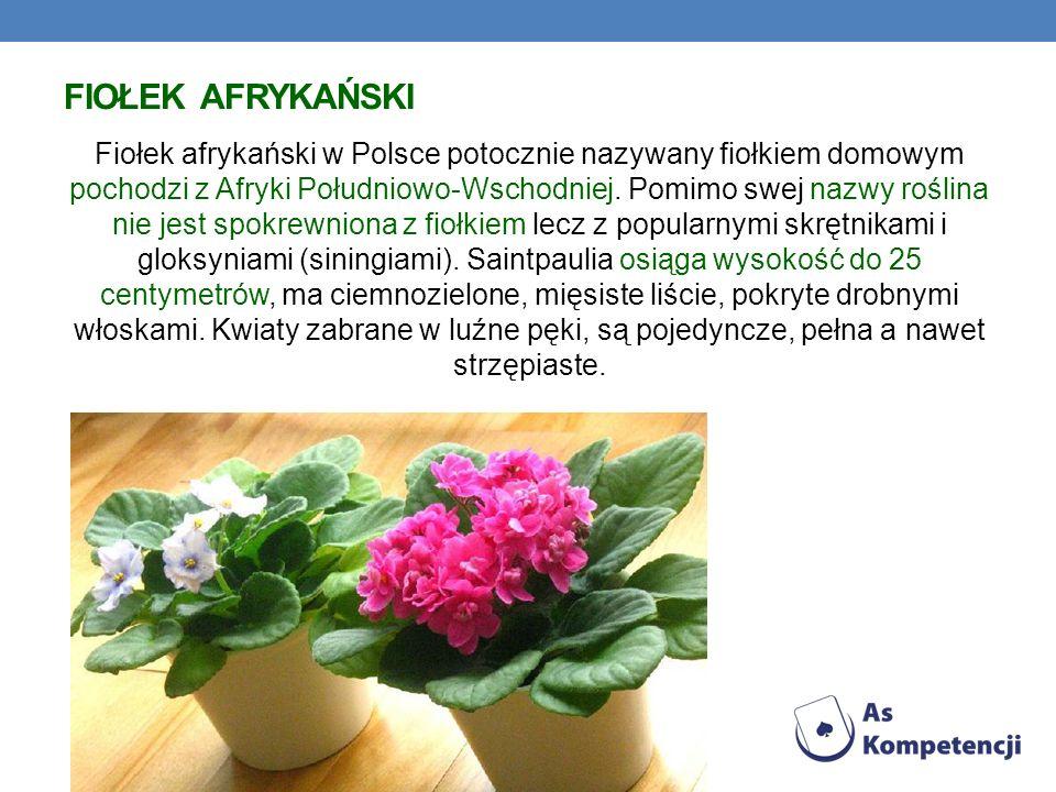 FIOŁEK AFRYKAŃSKI Fiołek afrykański w Polsce potocznie nazywany fiołkiem domowym pochodzi z Afryki Południowo-Wschodniej. Pomimo swej nazwy roślina ni