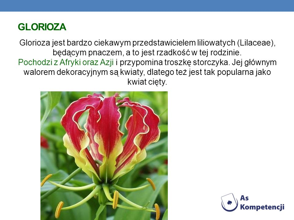 GLORIOZA Glorioza jest bardzo ciekawym przedstawicielem liliowatych (Lilaceae), będącym pnaczem, a to jest rzadkość w tej rodzinie. Pochodzi z Afryki