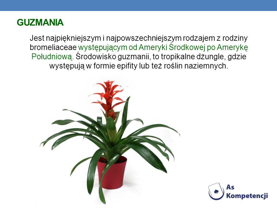 GUZMANIA Jest najpiękniejszym i najpowszechniejszym rodzajem z rodziny bromeliaceae występującym od Ameryki Środkowej po Amerykę Południową. Środowisk
