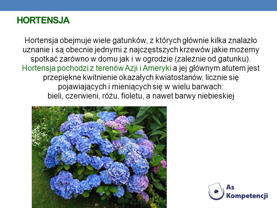 HORTENSJA Hortensja obejmuje wiele gatunków, z których głównie kilka znalazło uznanie i są obecnie jednymi z najczęstszych krzewów jakie możemy spotkać zarówno w domu jak i w ogrodzie (zależnie od gatunku).