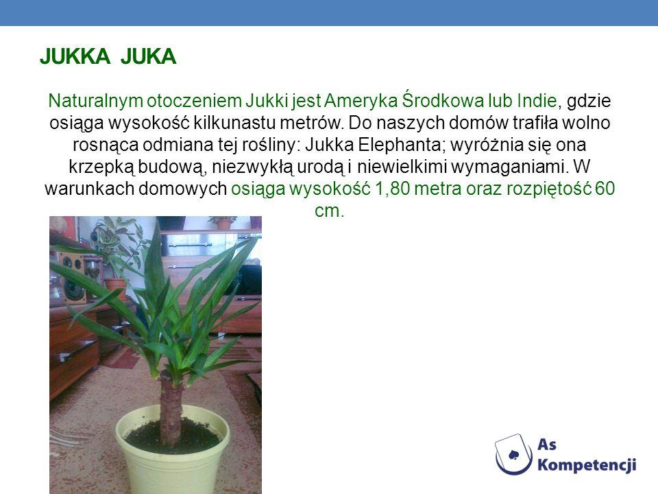 JUKKA JUKA Naturalnym otoczeniem Jukki jest Ameryka Środkowa lub Indie, gdzie osiąga wysokość kilkunastu metrów. Do naszych domów trafiła wolno rosnąc