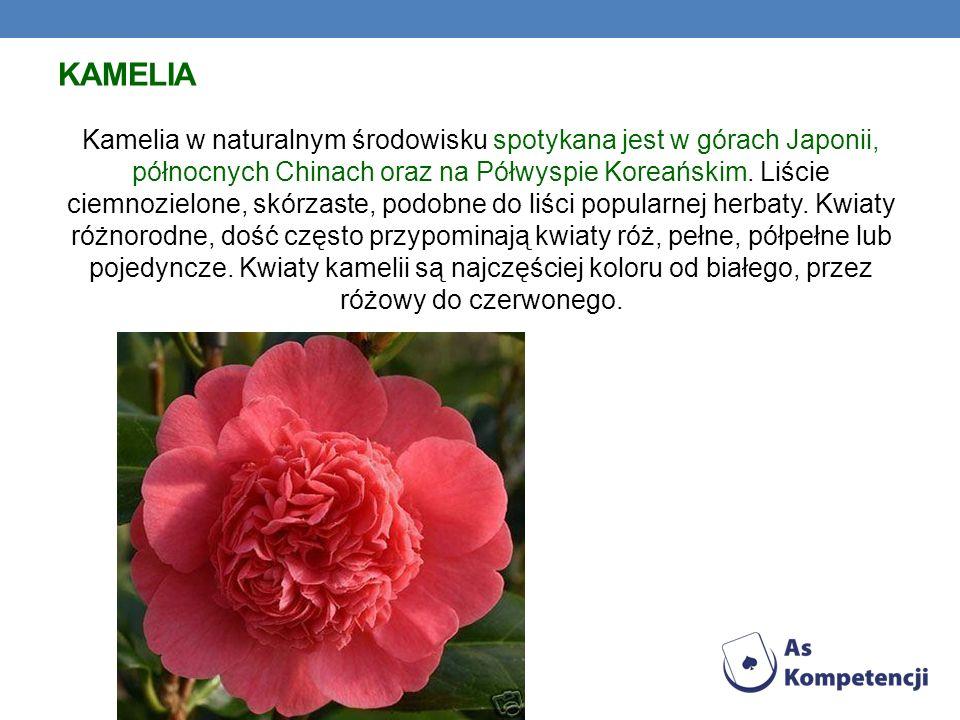 KAMELIA Kamelia w naturalnym środowisku spotykana jest w górach Japonii, północnych Chinach oraz na Półwyspie Koreańskim. Liście ciemnozielone, skórza