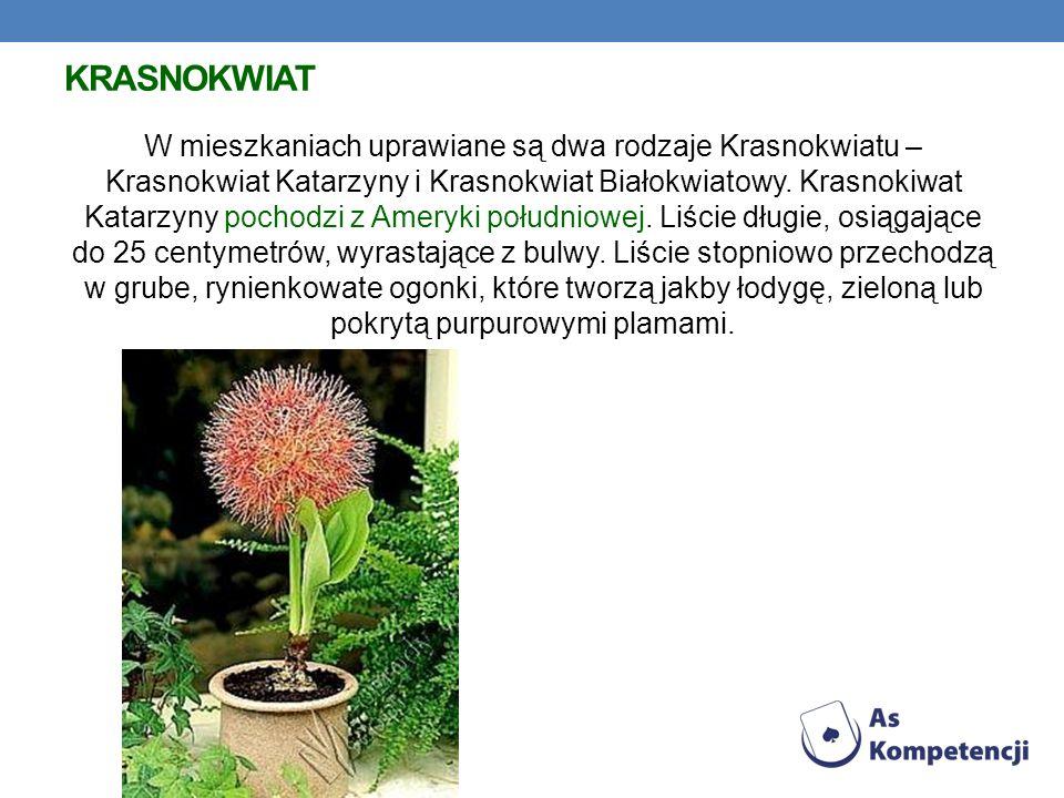 KRASNOKWIAT W mieszkaniach uprawiane są dwa rodzaje Krasnokwiatu – Krasnokwiat Katarzyny i Krasnokwiat Białokwiatowy.