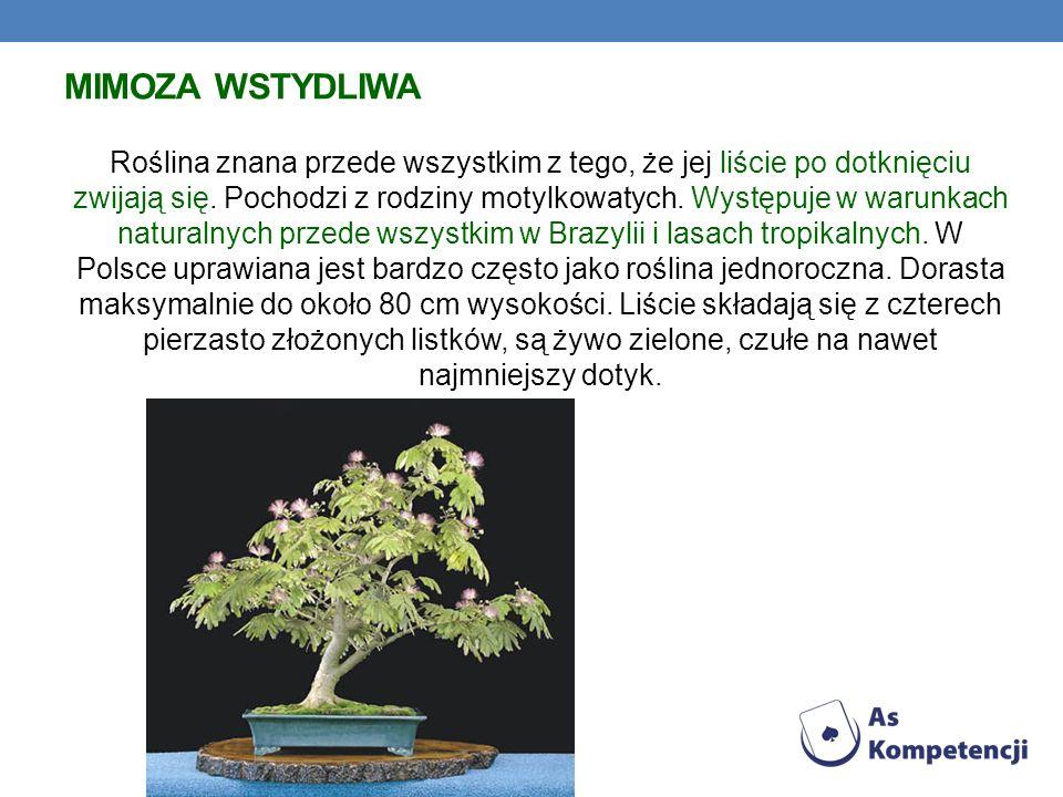 MIMOZA WSTYDLIWA Roślina znana przede wszystkim z tego, że jej liście po dotknięciu zwijają się. Pochodzi z rodziny motylkowatych. Występuje w warunka