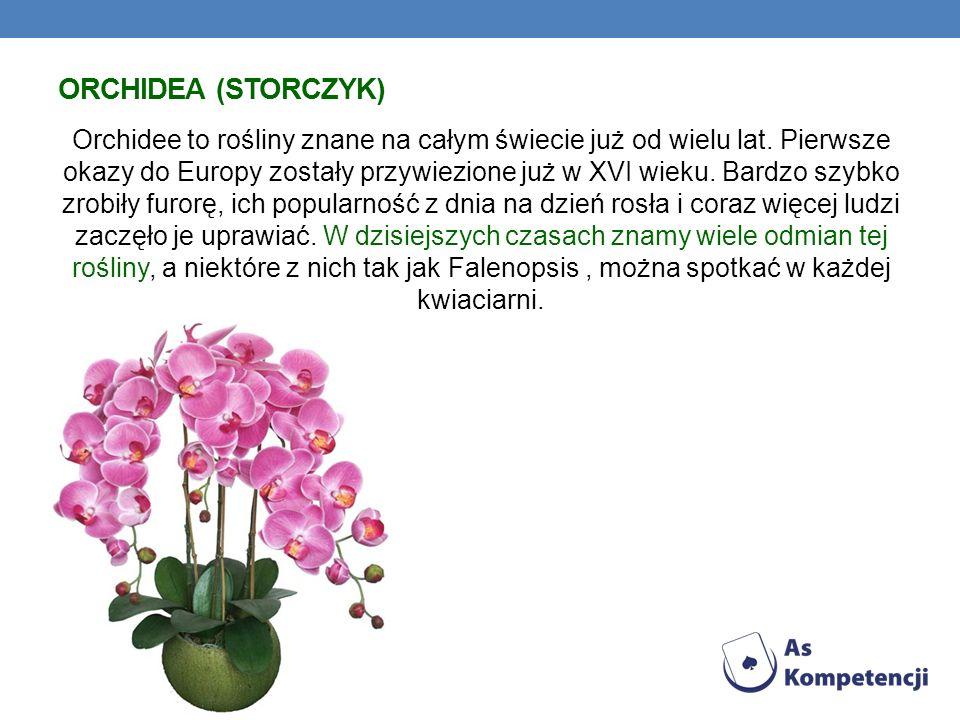 ORCHIDEA (STORCZYK) Orchidee to rośliny znane na całym świecie już od wielu lat. Pierwsze okazy do Europy zostały przywiezione już w XVI wieku. Bardzo
