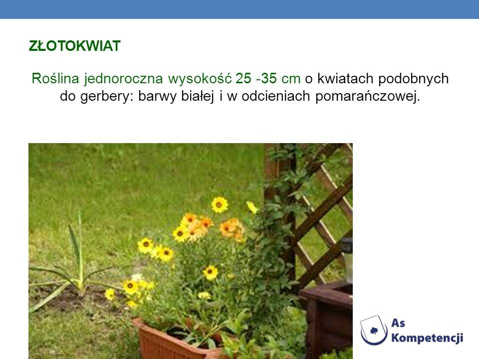 ZŁOTOKWIAT Roślina jednoroczna wysokość 25 -35 cm o kwiatach podobnych do gerbery: barwy białej i w odcieniach pomarańczowej.