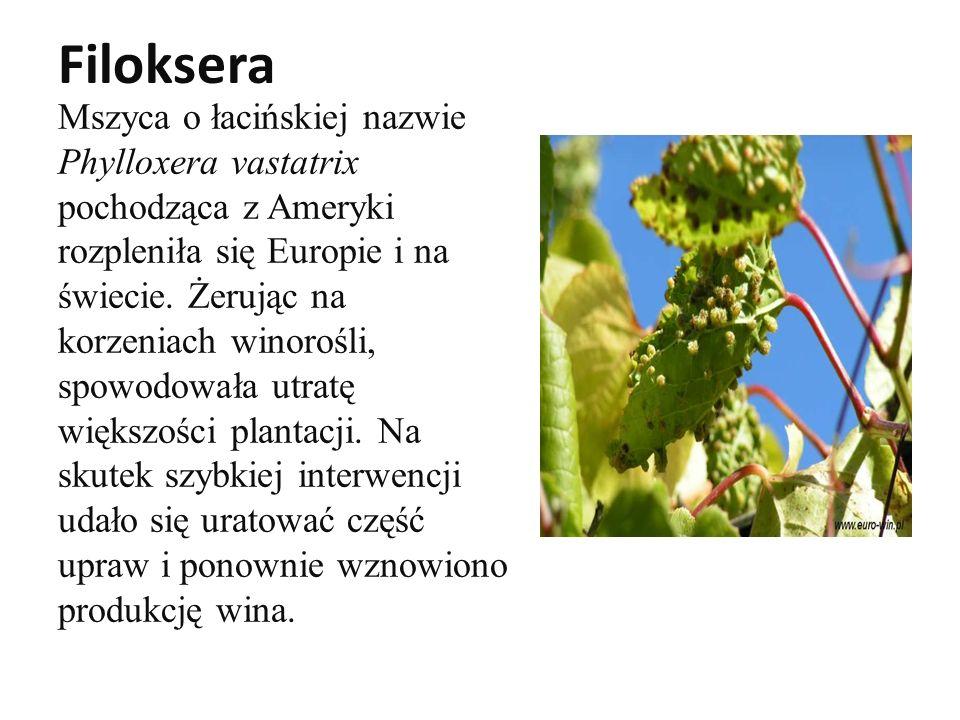 Filoksera Mszyca o łacińskiej nazwie Phylloxera vastatrix pochodząca z Ameryki rozpleniła się Europie i na świecie.