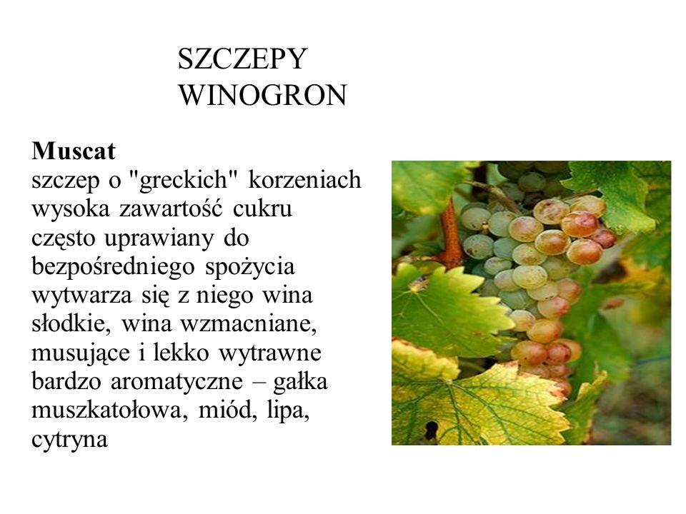 SZCZEPY WINOGRON Muscat szczep o greckich korzeniach wysoka zawartość cukru często uprawiany do bezpośredniego spożycia wytwarza się z niego wina słodkie, wina wzmacniane, musujące i lekko wytrawne bardzo aromatyczne – gałka muszkatołowa, miód, lipa, cytryna