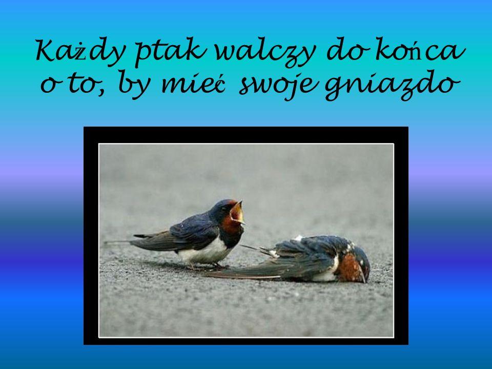 Ka ż dy ptak walczy do ko ń ca o to, by mie ć swoje gniazdo