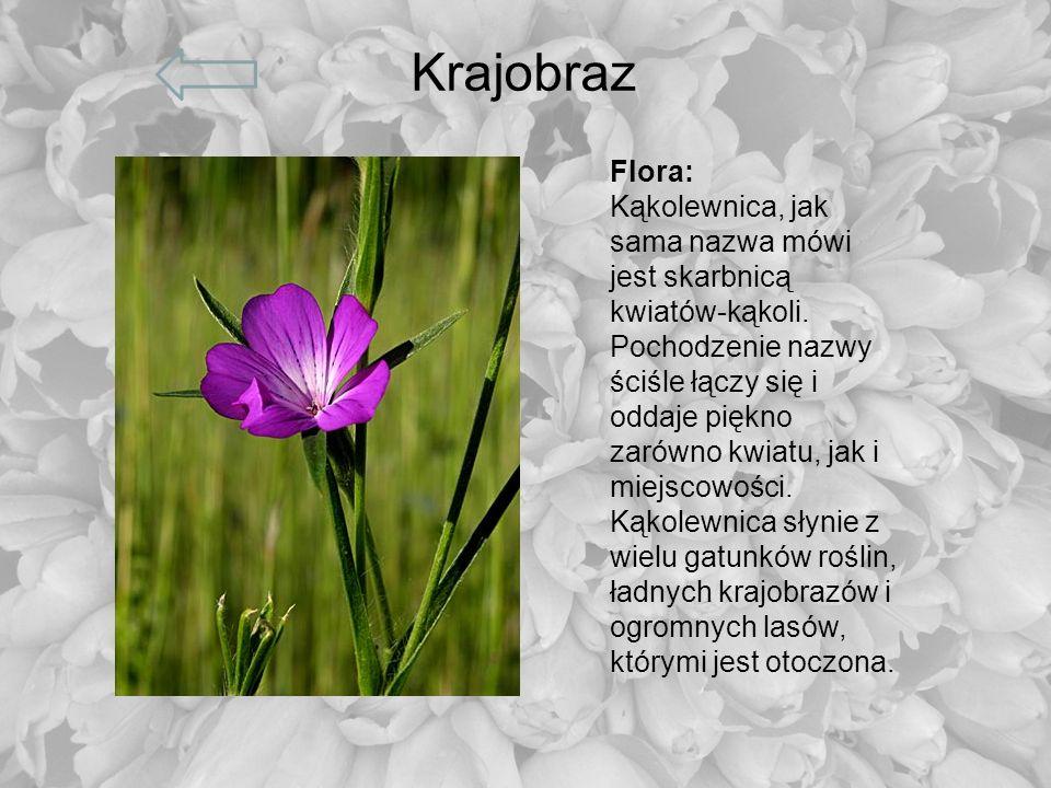 Krajobraz Flora: Kąkolewnica, jak sama nazwa mówi jest skarbnicą kwiatów-kąkoli. Pochodzenie nazwy ściśle łączy się i oddaje piękno zarówno kwiatu, ja