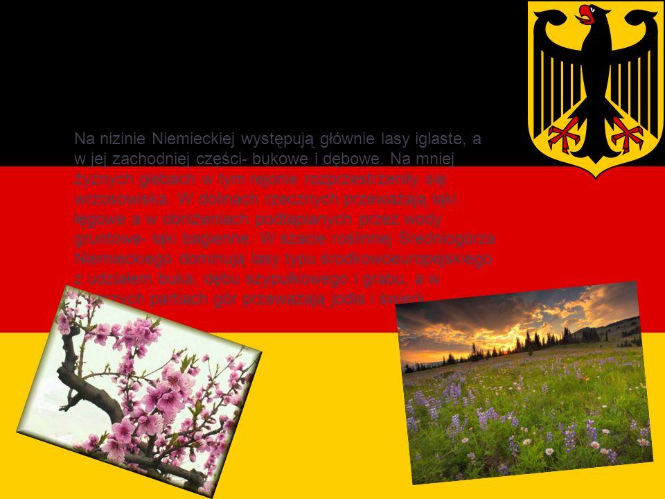 Roślinność Na nizinie Niemieckiej występują głównie lasy iglaste, a w jej zachodniej części- bukowe i dębowe.